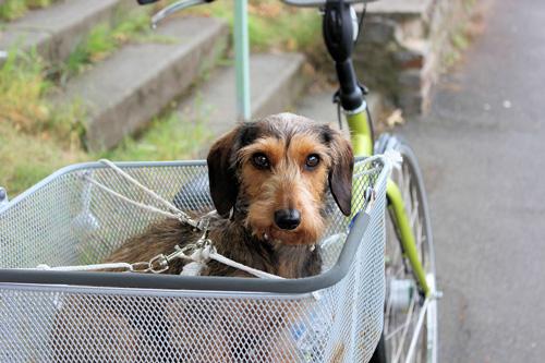 Accessoire très pratique : le panier vélo pour chien